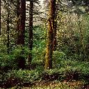 Forest at Sitka, Cascade Head