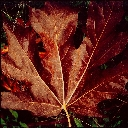Maple leaf, Siuslaw